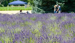 how to start a lavender farm hobby farms
