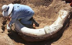 russia digs woolly mammoth remains guilt free ivory telegraph
