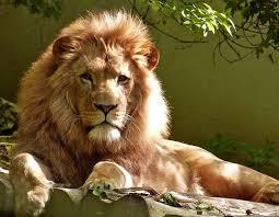 imagenes de leones salvajes gratis immagine gratis su pixabay leone felino gatto grande leones