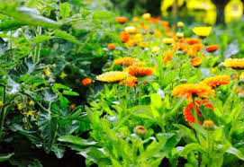 companion planting guide planet natural