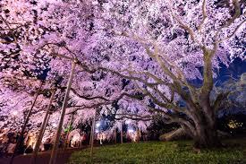 yozakura nighttime cherry blossom viewing in the city