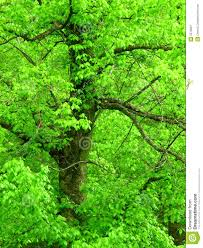 bright green tree royalty free stock photography image 2273687