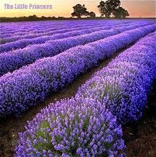 Fragrant Potted Plants - popular lavender pot plant buy cheap lavender pot plant lots from