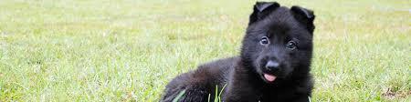 belgian sheepdog breeders indiana harrison k 9 fine european german sheperds personal protection