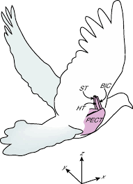 muscle function during takeoff and landing flight in the pigeon