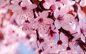 branch cherry flowers spring wallpaper 1920x1200 22650