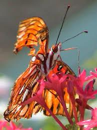 live monarch butterfly hospital