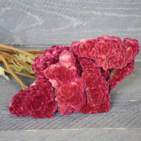 coxcomb flower dried celosia coxcomb flowers dried cockscomb flowers