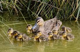 mallard new zealand birds online