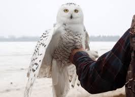 you can follow 4 satellite tagged snowy owls visiting michigan