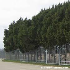 cedar tree ornamental cedar tree
