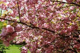 trees with pink flowers file flowering pink tree grass west virginia forestwander jpg
