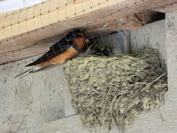 Barn Swallow Nest Pictures A Fearless Mother Stays With Her Nest Seasons Flow