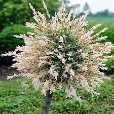 1 metre standard salix flamingo willow tree in a 3 litre pot
