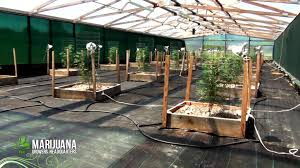 how to grow marijuana like a pro big sluggers 2012 greenhouse
