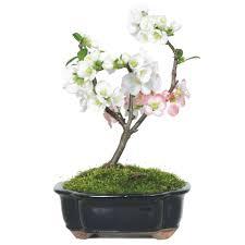 japanese flowering quince bonsai tree walmart