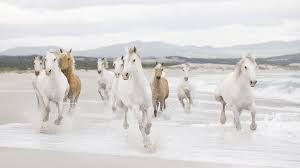 camargue white horse wallpapers seven horse wallpaper