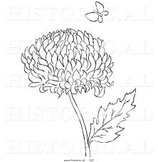 historical vector illustration of a chrysanthemum flower with