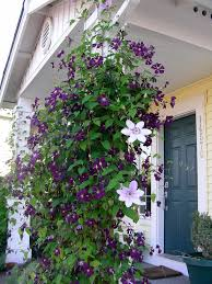 where to plant the clematis vine