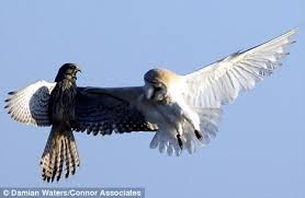 Where Does The Barn Owl Live Pictured The Moment A Barn Owl Is Ambushed Mid Flight By Two