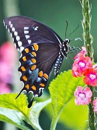 10 best swallowtail butterfly side view images on