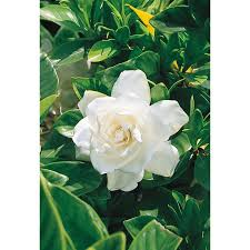 shop 2 quart white august beauty gardenia flowering shrub l3497
