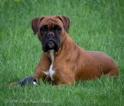 boxer dog female boxers von bachbett working german boxer females sofia shawnee