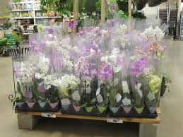 buy an orchid the cheapest place to buy orchids