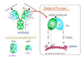 Small by Small Antibody Fragment U2014a Valuable Tool In Crystallography
