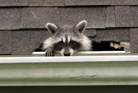 How To Get Rid Of Raccoons In Backyard Watch How To Kick Raccoons Out Of Your House U2014humanely