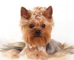 female yorkie haircuts styles 15 best yorkies images on pinterest yorkshire terrier haircut