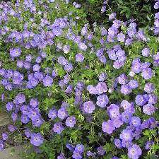 Geranium by Rozanne Geranium Rozanne At Wayside Gardens