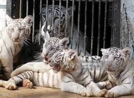 indian white bengal tiger cubs samuel l pictures getty images