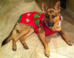 gsd sulli german shepherd part 1 closed pinterest german