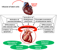 Heart Anatomy And Function Advances In Stem Cell Therapy For Cardiovascular Disease Review