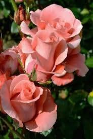 Best R by 3167 Best R ó ż E Images On Pinterest Flowers Nature And Plants
