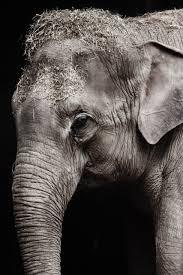 elephant portrait free stock photo public domain pictures