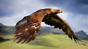 eagle nature blurred birds wildlife wallpapers hd desktop and