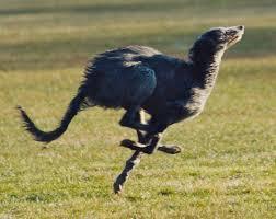 afghan hound vs wolfhound irish wolfhound breed character u2014 ballyhara irish wolfhounds