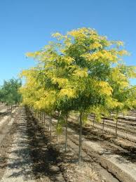 sunburst honeylocust gorgeous especially the bright yellow in