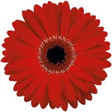 gerbera daisies gerbera blooms