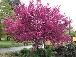 malus prairifire malus flowering crabapple