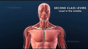 Human Body Anatomy Pics Joints And Levers In The Human Body 3d Animation Education