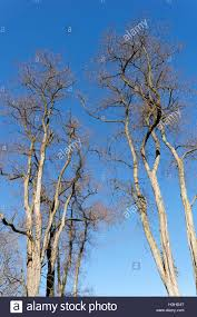black locust or false acacia trees robinia pseudoacacia