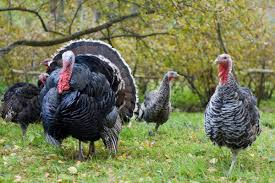 6 questions to ask before buying a humane turkey civil eats