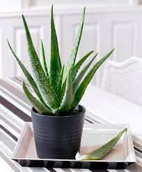 indoor planting aloe vera plant care ultimate beginner s guide to growing aloe