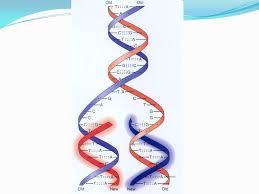 dna replication during replication the molecule splits into two