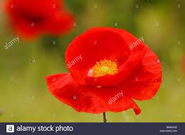 closeup of wild poppy flower in spring victoria british columbia