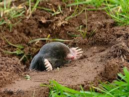 Moles Blind 17 Best Moles Images On Pinterest Eastern Mole Mole And Animal
