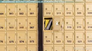 membrane bound organelles in eukaryotic cells video u0026 lesson